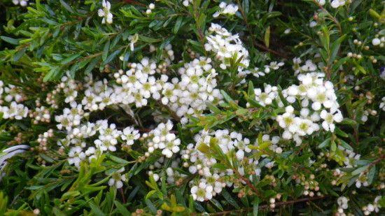 Baeckea Virgata - Landsdale Plants