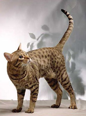 Ocicat. Learn more on ihypoallergeniccats.com.