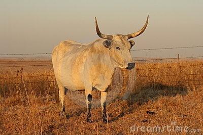 Nguni Cow white by Kaz2, via Dreamstime
