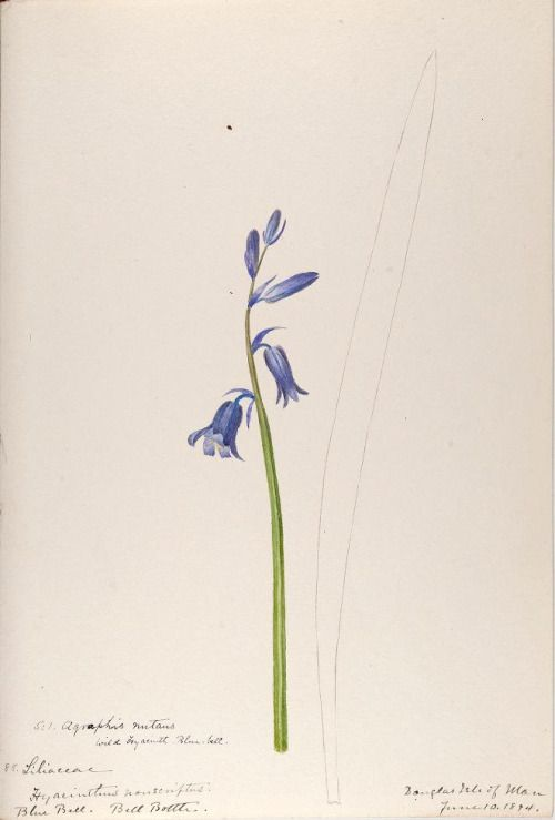 Bluebell (Hyacinthoides non-scripta).Taken from 'Water-color Sketches of Plants of North America and Europe' by Helen Sharp. Published 1888. Lenhardt Library, Chicago Botanic Garden.archive.org