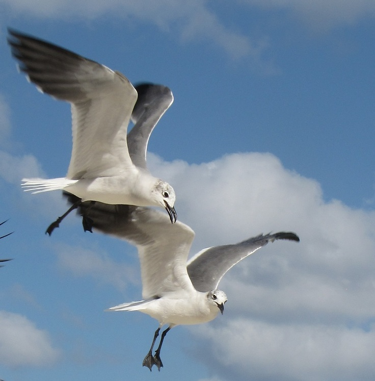 Sea gulls.  Noisy birds, they eat anything.  Did you know that if you toss food (or peanuts) into the air they will swoop them up.  We used to love doing that in Golden Gate Park, San Francisco.  There are even seagulls inland like Utah.