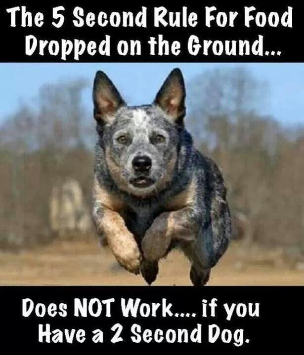 LOL!!!!!!! Boy, ain't that the darn truth ;-). Boy howdy, my 2 heelers rarely let it hit the floor!