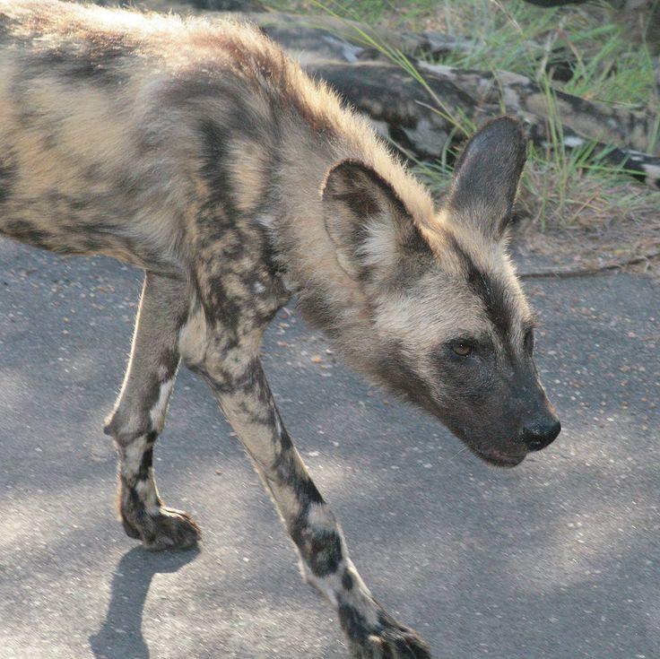 Zuid-Afrika - Krugerpark. Zelfs voor het Krugerpark is een ontmoeting met een roedel wilde  honden heel zeldzaam! Er zijn nog maar 2500 wilde honden wereldwijd, waarvan 350 in het Krugerpark. De schuwe dieren laten zich ook daar uiterst zelden zien. Foto: G.J. Koppenaal - 2/2/2012