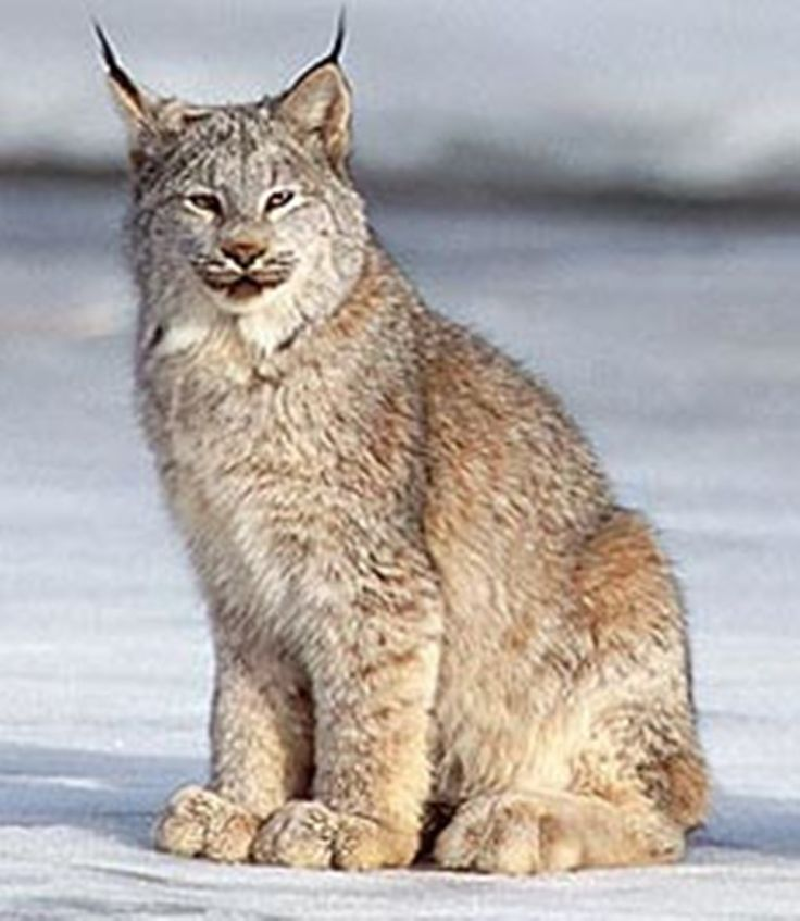 Canada Lynx | you can really see how big the canada lynx s feet are