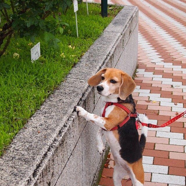 薔薇より、 #ピーチ #ビーグル #beagle #dog