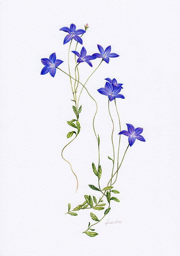 Wahlenbergia Botanische illustratie ~ Australian Geographic Magazine Issue 130-0