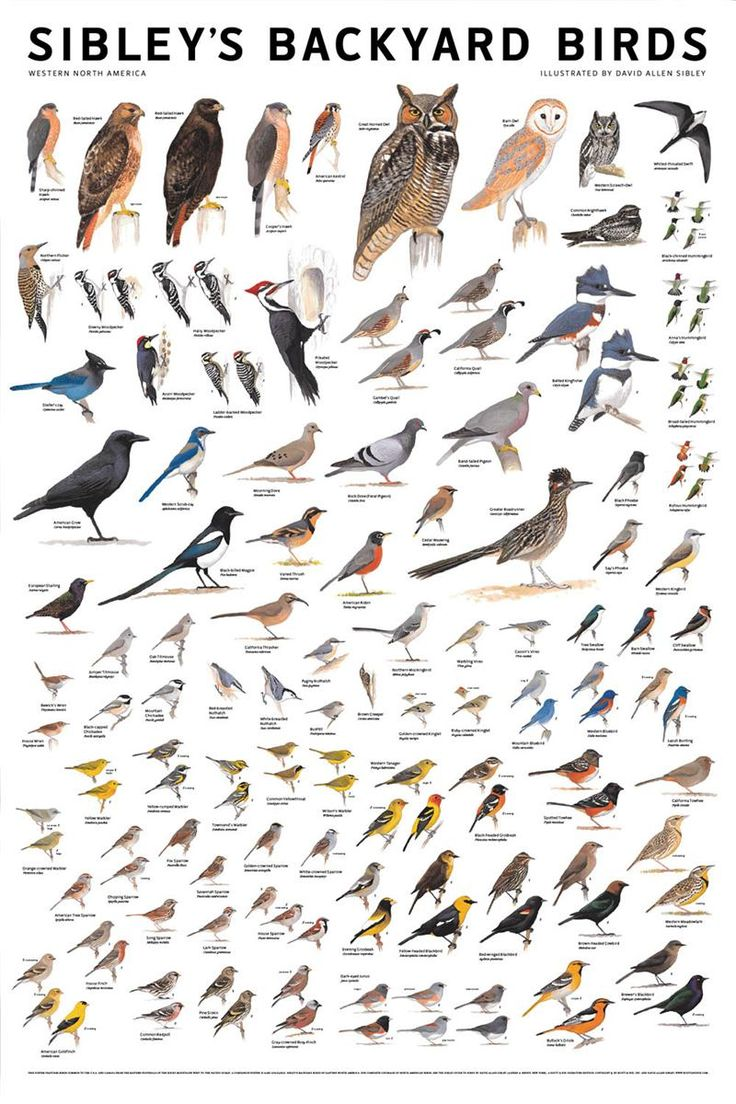 Sibleys Backyard Birds poster. From birdfeedersnmore.com.