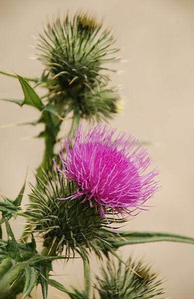 Thistle / Scotland's national flower.
