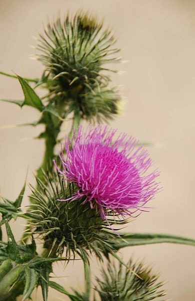 Thistle / Scotland's national flower.