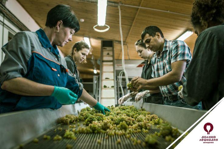 На специальном переборочном столе винодельни «Лефкадия» все работы ведутся вручную: каждая гроздь просматривается, убираются подгнившие ягоды и попавшие в ящики листья