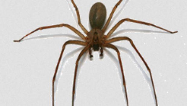 Araña violinista se encuentra en México alertan