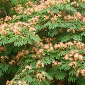 7 best images about favorite plants on pinterest gardens trees and red poppies - Fir tree planting instructions a vigorous garden ...