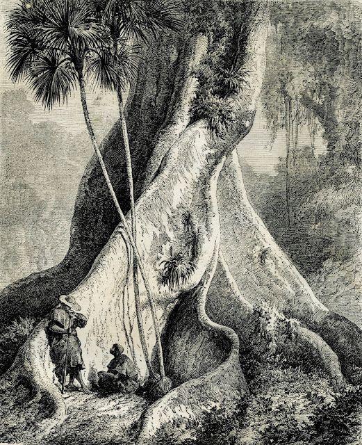 """Olímpia Reis Resque: Peculiaridades da floresta  equatorial """"...Nas clareiras…"""