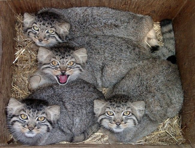 Pallas cat | Pallas-Cat-pallas-cats-27745378-650-491.jpg