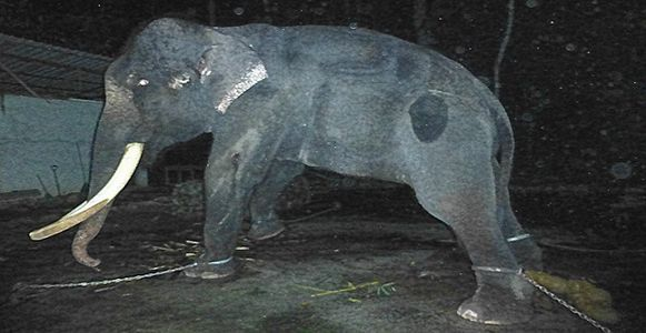petition: Help Free Lasah The Elephant In Malaysia