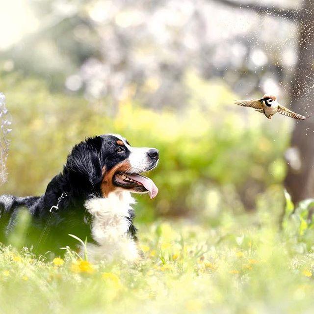 . 寝不足、頭の中がパンクしそうな毎日です。  #instadog#dogs#dog#doglover#lovedogs #west_dog_japan#bernesemountaindog #dogstagram#dogsofinstagram#doggy #dogphotography#bestwoof#dogoftheday #bestphotogram_dogs#cutedog #dogs_of_Instagram#dog_features #petstagram#dogslife#dogumented#igersjp #tokyocameraclub#癒しわんこ#わんこ#愛犬#犬 #犬バカ部#東京カメラ部#バーニーズマウンテンドック