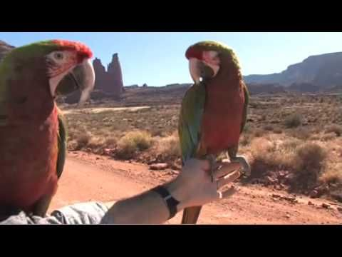 Flying Parrots In The Desert. Macaws Teach A Conure About First Flight. - http://www.parrotshop.org/flying-parrots-in-the-desert/