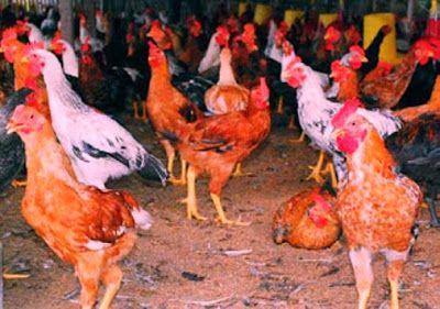 RINDDIANY  : Bisnis Ternak Ayam Kampung SUPER Cepat Panen