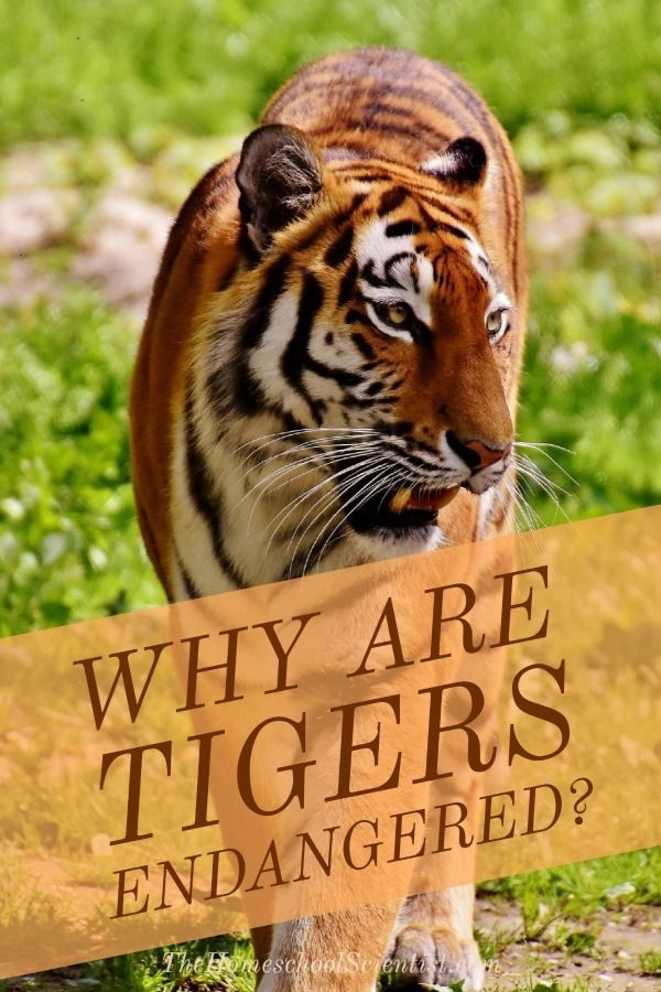 Y Tigers Are Endangered Best 25+ Tiger conserv...