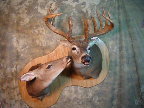 Buck w/ doe mount?