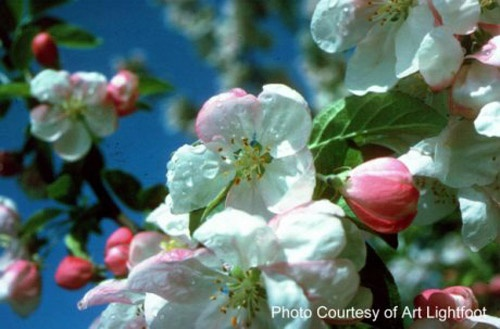 2012 marks the 80th year of the Annapolis Valley Apple Blossom Festival - May 30th to June 4th.