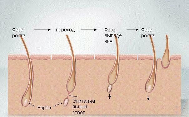 www.kord.gr Информация о жизненном цикле роста волос: фазе анагена (anagen), катагена (catagen) и телогена (telogen). Подробнее: http://goo.gl/erlqrs