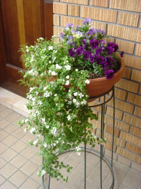 玄関寄せ植え、バコパ、ビオラ