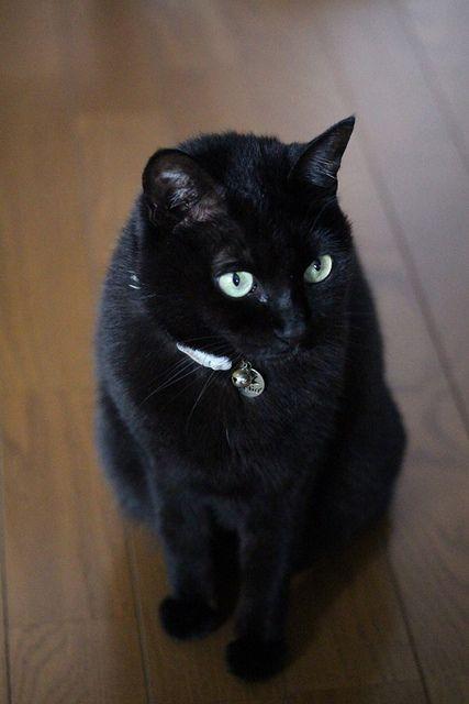 Black Japanese Bobtail Japanese bobtail, Bobtail cat