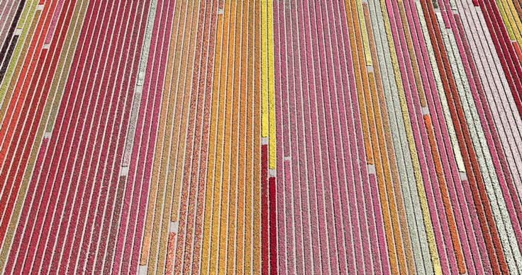 aerial-photos-show-just-how-beautiful-netherlands-tulip-fields-are