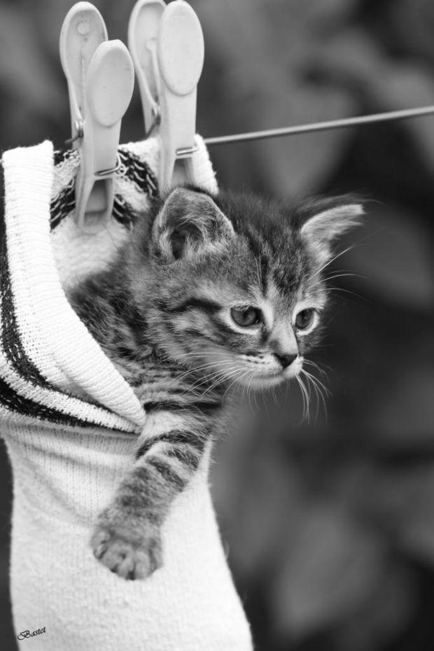Photo prise par Bastet M En 1963, une chatte nommée Felicette fut le premier félin à atteindre l'espace. L'animal embarqua à bord d'une capsule lancée par la fusée française Véronique. Felicette a rejoint la terre ferme saine et sauve.Trouvez la meilleure assurance pour votre animal de compagnie grâce à ce comparateur en ligne Découvrez d'autres images de Bastet M