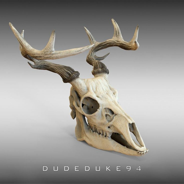 Deer skull  I've started a new batch of animal skulls and you know better than me how can be beatiful an animal alive but it keeps maintain it's beauty in this new form.  http://ift.tt/2A09wOw http://ift.tt/2AlwheO  tags: #dudeduke94 #digital #sculpting #3D #keyshot #render #zbrush #photoshop #skull #deer #animal