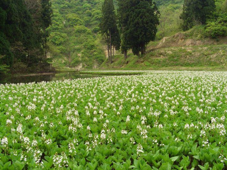 Ο Μηνύανθος (Menyanthes trifoliata) ή Tριφύλλι του Nερού είναι γνωστό βότανο, που θεραπεύει δερματικά τραύματα, κοκκινίλες & ερεθισμούς. Ως συστατικό της DIVINE IMMORTELLE δρα κατά της χαλάρωσης, αναδομώντας το περίγραμμα του προσώπου.