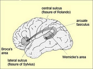 Speech functions of the brain:   which lobe contains speech? FRONTAL (BROCA'S AREA)