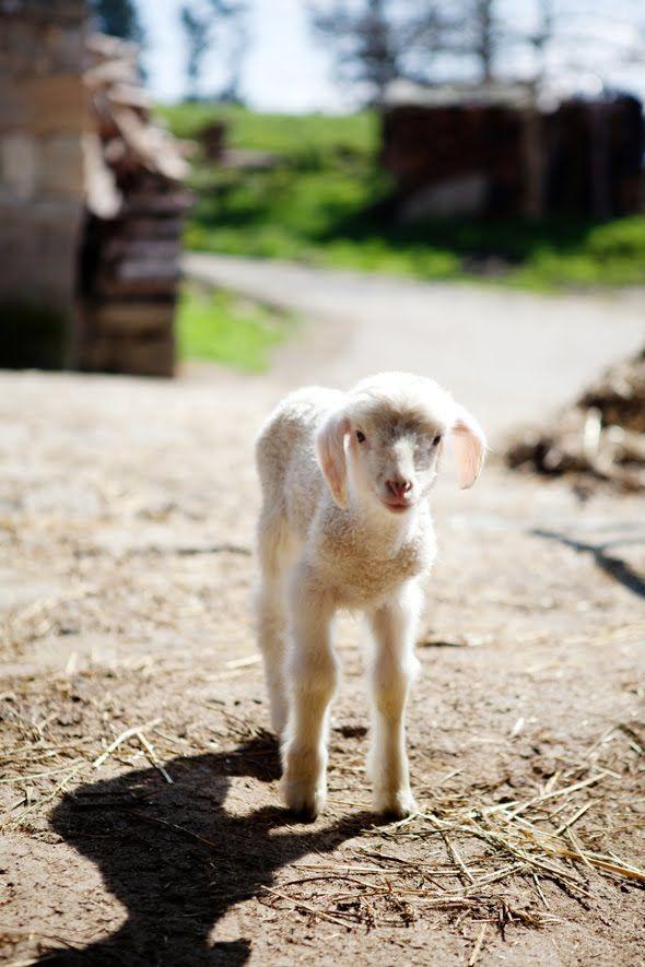 .: Farm, Baby Lambs, Babies, Adventure, Sweets, Creatures, Sheepish, Baby Animals, Sweet Lamb