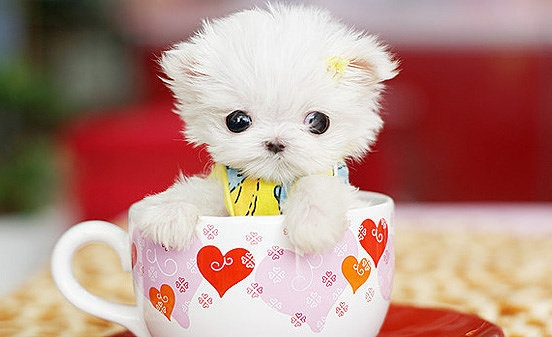small white cat in the cup: Dogs, Teas Cups, Pet, Adorable, Things, Tea Cups, Little Puppys, Teacup Puppys, Animal