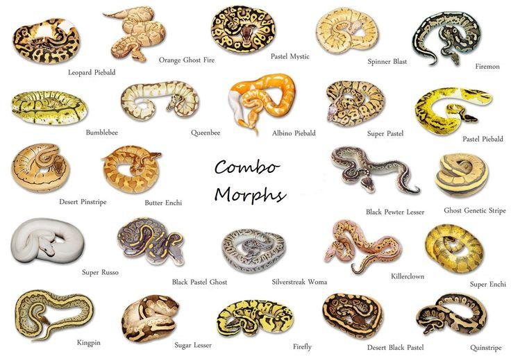 Ball python color morphs
