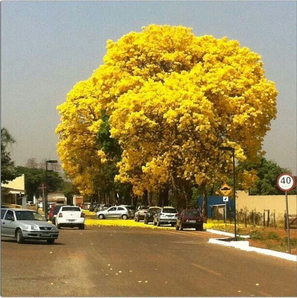 Tajy amarillo