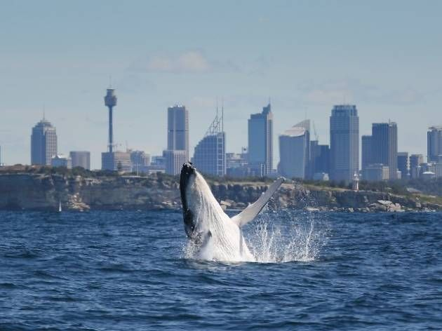 Sydney whale watching walks and tours