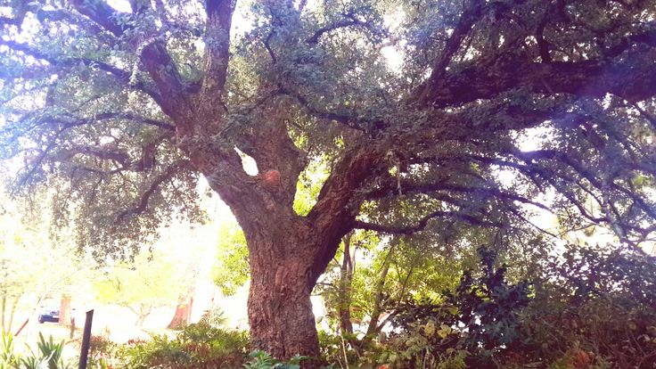 An old Cork Tree, believed to be close to 300 years old, found in the luscious #Hartenberg gardens.