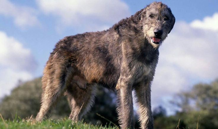 The more I learn about people, the more I like my dog. -Irish Wolhound