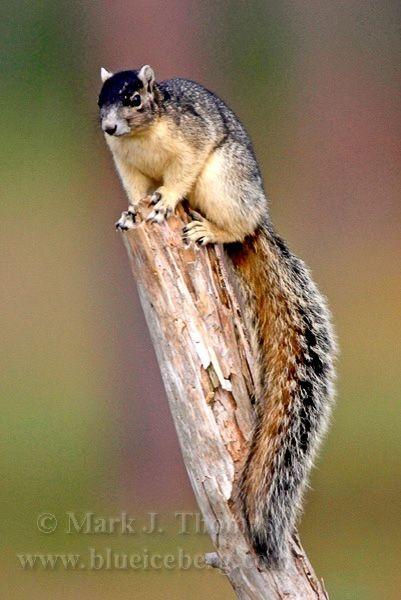 Sherman's Fox Squirrel  ( Sciurus niger shermani )  - Florida