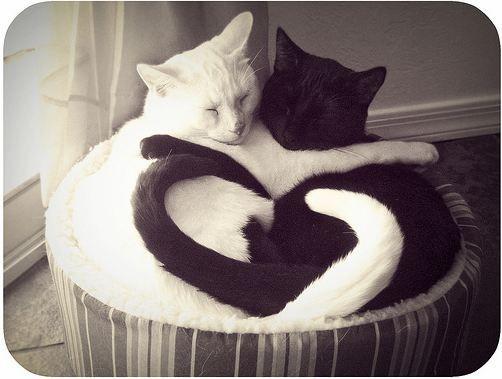 awwww: Cats, Animals, Heart, Sweet, Pet, Kitty, Black, White Cat, Yin Yang
