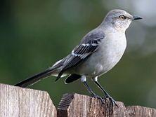 Mimus polyglottos - Wikipedia, la enciclopedia libre
