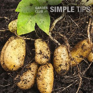 Grow Your Own Spuds. Plant a Potato Barrel This Week. | Garden Club
