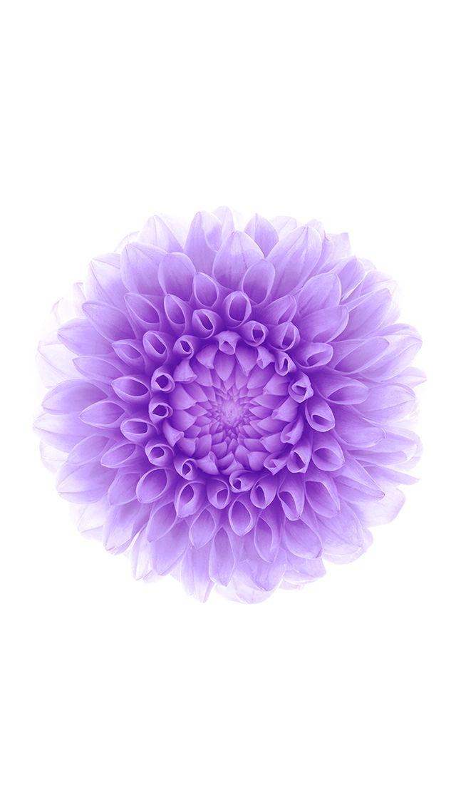 iOS 8 Purple Flower White Background iPhone 5 Wallpaper