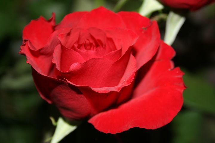 Розовый, Красный, Цветок, Подарок