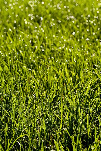 how to get weed free lawn