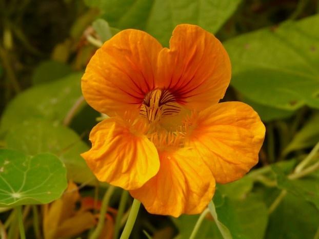Kapuzinerkresse - Blüte