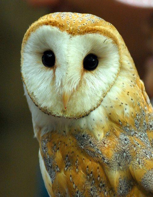 Barn owl | Flickr - Photo Sharing!