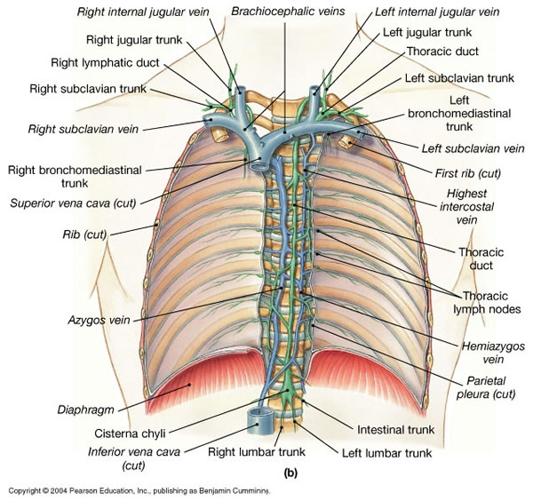 EXCELLENT thoracic duct image & lymphatic website.